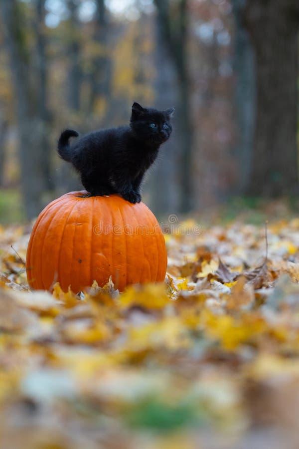 Gatinho preto que senta-se no pumplin na floresta foto de stock royalty free