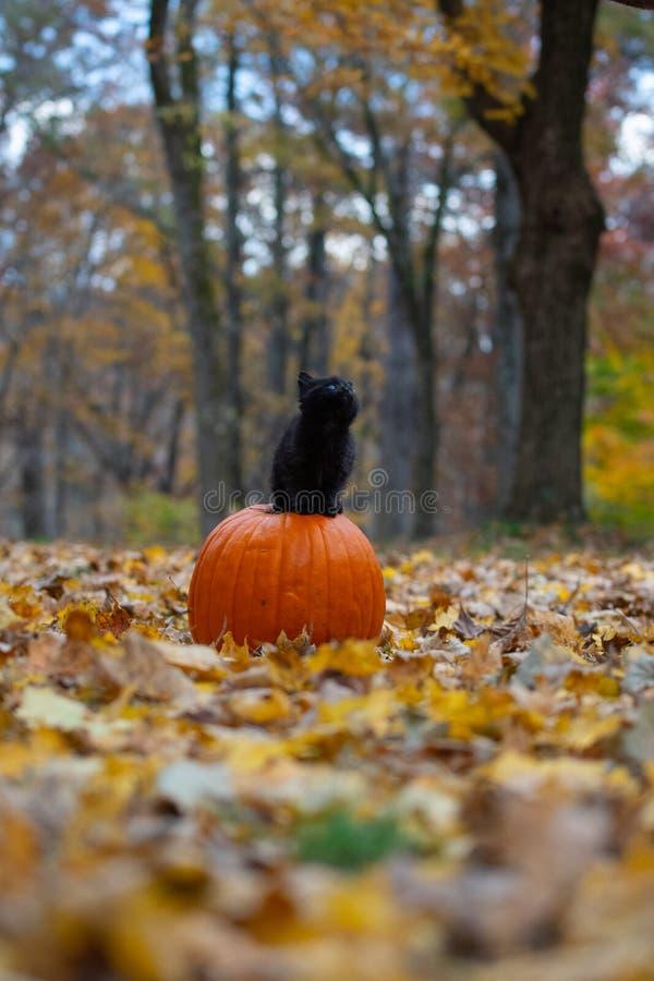 Gatinho preto que senta-se no pumplin na floresta fotografia de stock