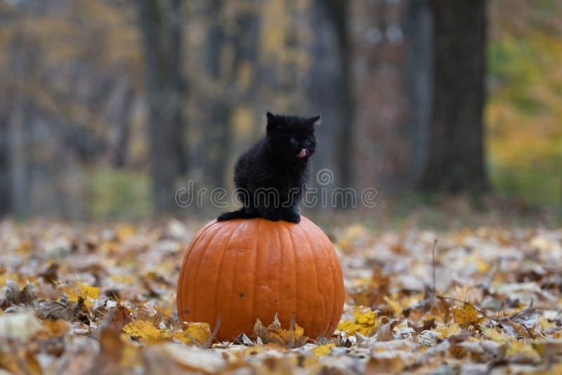 Gatinho preto que senta-se no pumplin na floresta fotografia de stock royalty free
