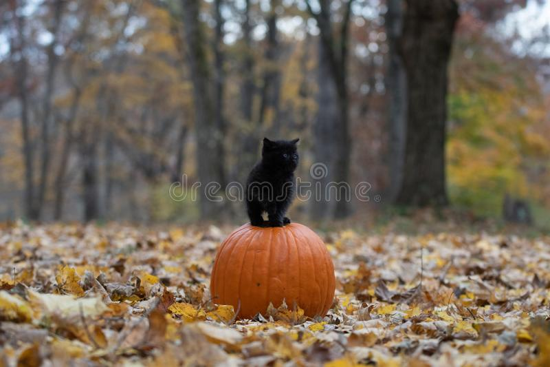 Gatinho preto que senta-se no pumplin na floresta imagem de stock