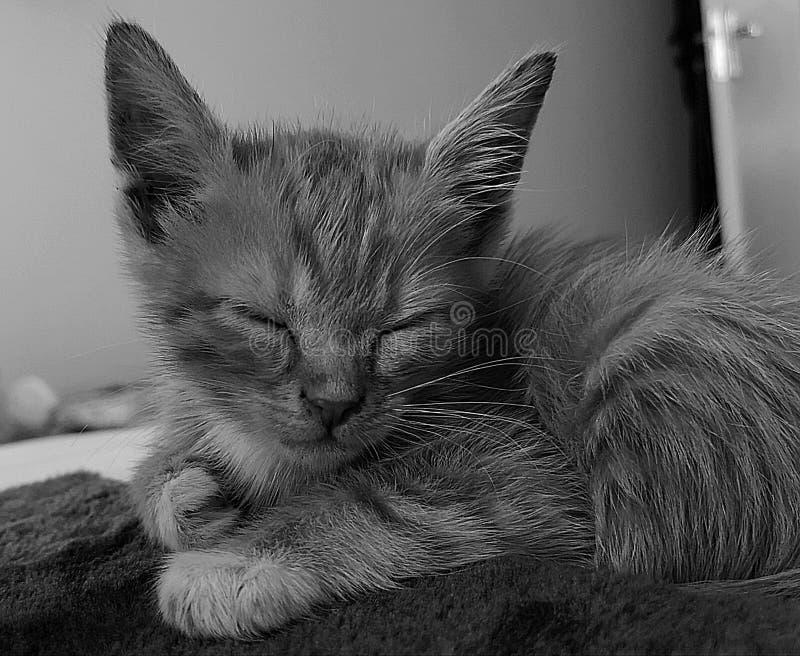 Gatinho que dorme em preto e branco imagem de stock royalty free