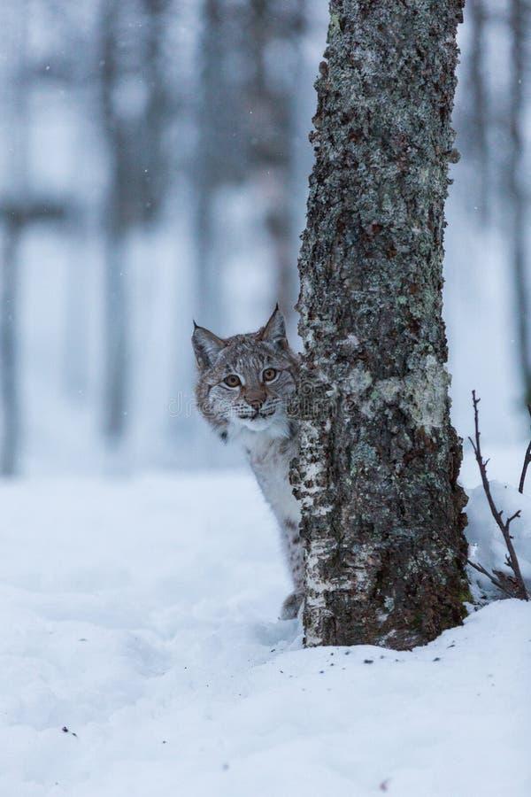 Gatinho que joga na cena nevado do inverno, Noruega do lince foto de stock royalty free