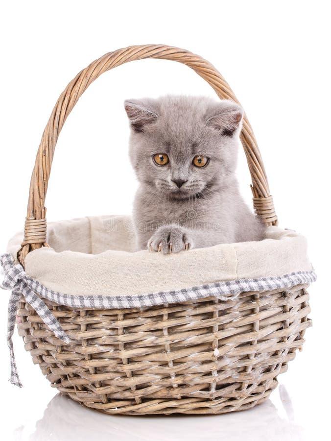 Gatinho reto escocês Gatinho em uma cesta, isolada em um whit imagens de stock royalty free