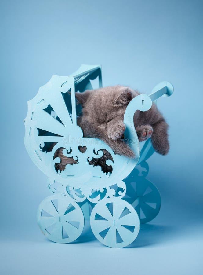 Gatinho reto escocês Sonos cinzentos do gatinho Em um fundo azul foto de stock royalty free