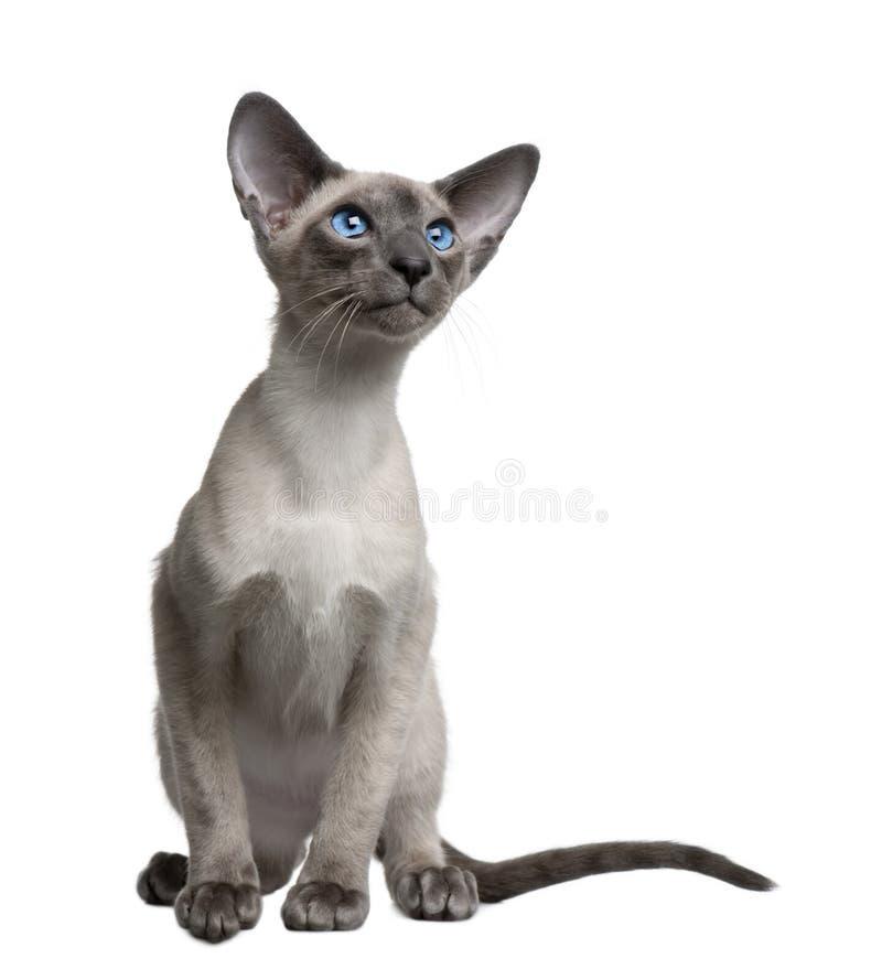 Gatinho Siamese, 4 meses velho imagem de stock royalty free