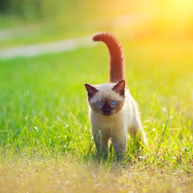 gatinho Siamese pequeno foto de stock