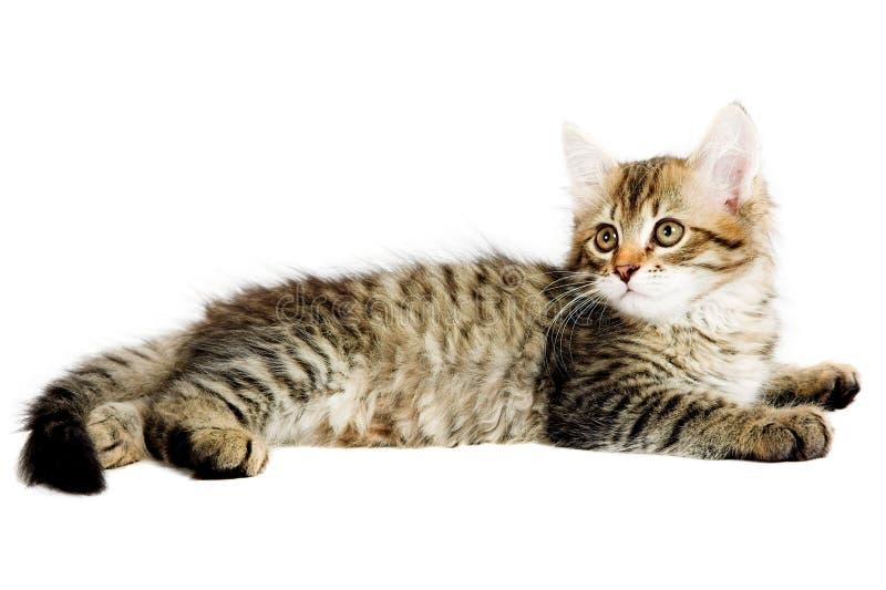 Download Gatinho Siberian foto de stock. Imagem de animal, intriguing - 26501134