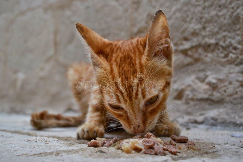 Gatinho subnutrido do gengibre disperso que come a comida de gato molhada fotos de stock royalty free