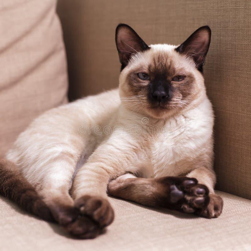 Gatinho tailandês satisfeito que descansa no sofá imagens de stock royalty free
