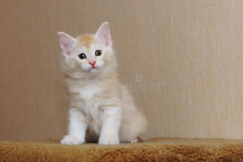Gatinho vermelho bonito fotos de stock