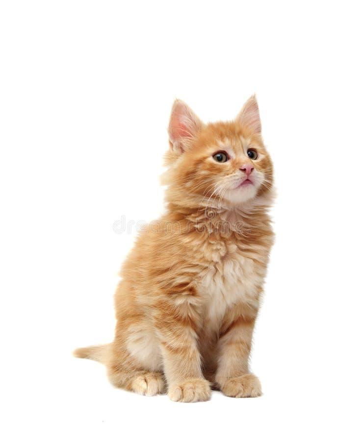 Gatinho vermelho bonito fotografia de stock