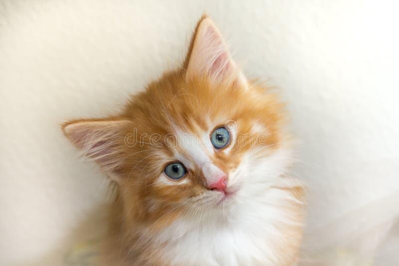 Gatinho vermelho bonito com olhos azuis foto de stock royalty free