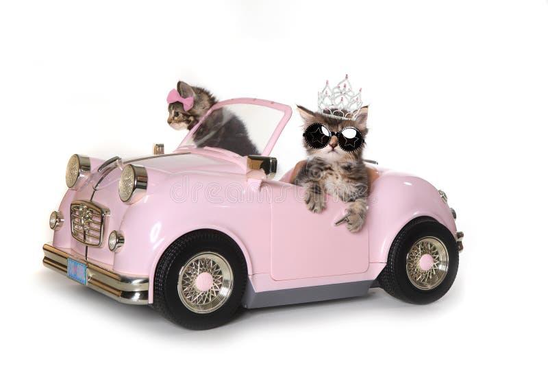 Gatinhos bonitos de Maincoon com condução de um Convertible imagem de stock royalty free