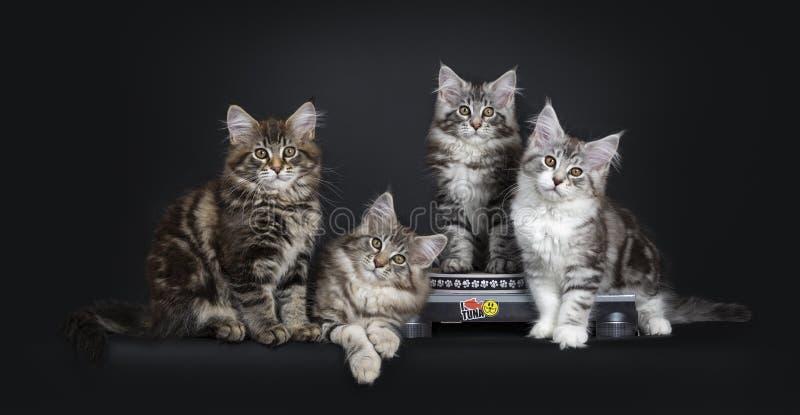Gatinhos bonitos de Maine Coon do gato malhado no jogador de registro no fundo preto fotografia de stock