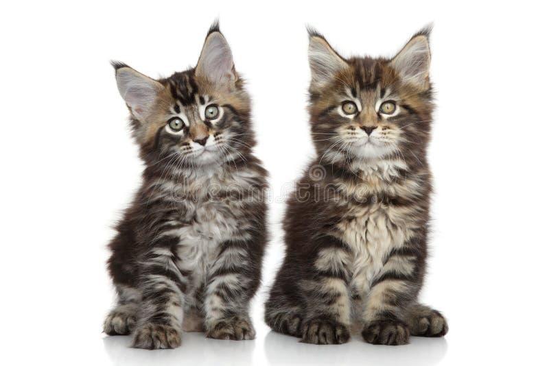 Gatinhos de Maine Coon fotografia de stock
