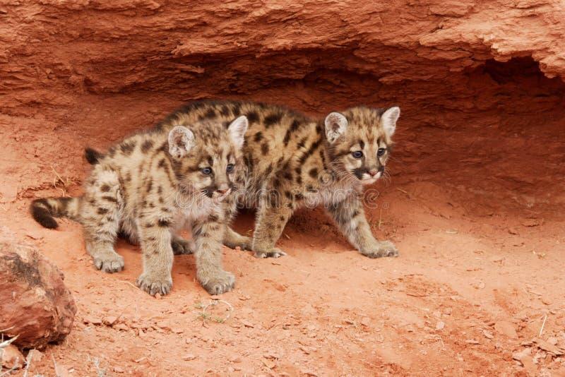 Gatinhos do leão de montanha imagens de stock