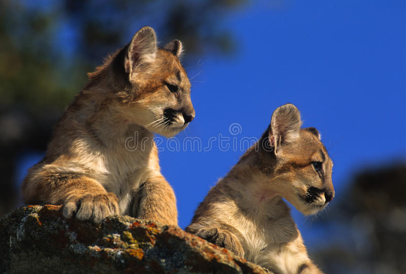 Gatinhos do leão de montanha na rocha fotos de stock royalty free