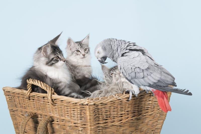 Gatinhos do papagaio e do racum de maine fotografia de stock