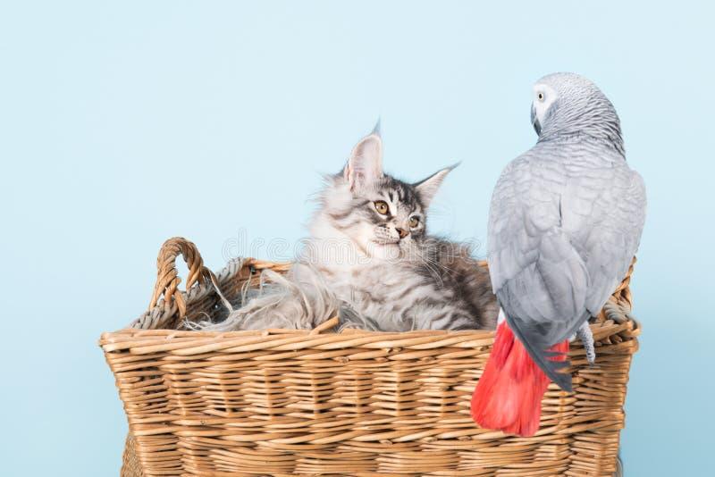 Gatinhos do papagaio e do racum de maine imagens de stock