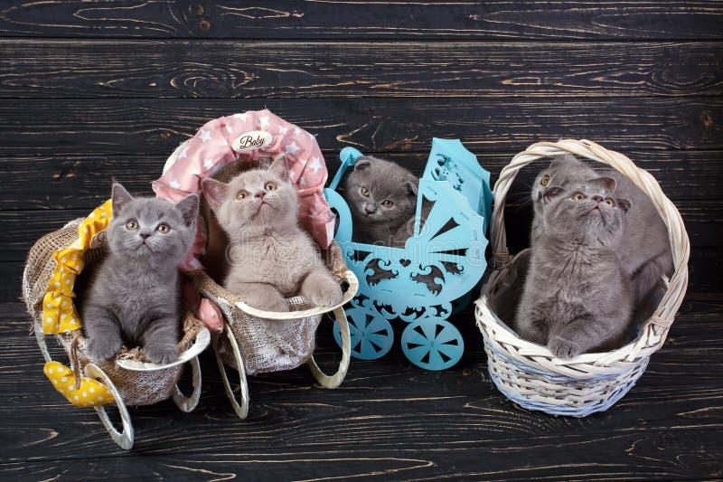 Gatinhos escoceses de dobragem direta e escocesa Cinco gatinhos em cenário fotografia de stock royalty free