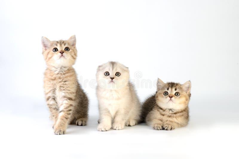 Gatinhos escoceses no fundo branco imagens de stock