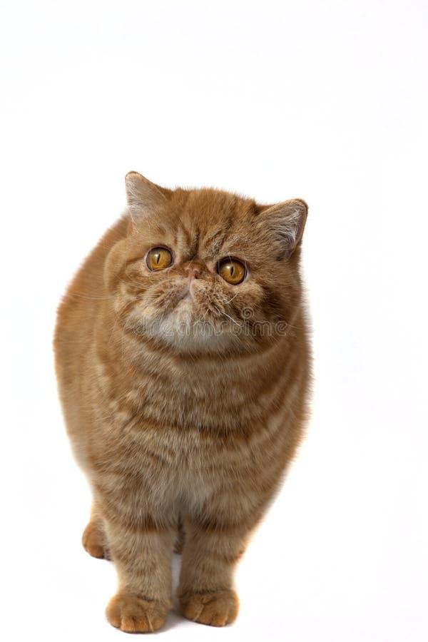 Gatinhos exóticos vermelhos que estão em um fundo branco foto de stock