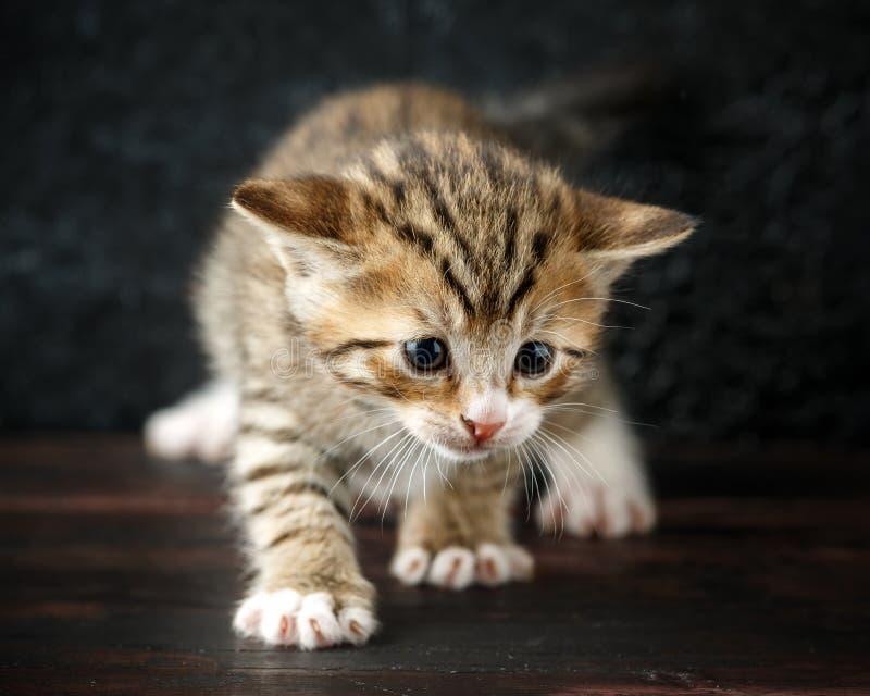 Gatinhos minúsculos bonitos do gato malhado do bebê com pele listrado imagem de stock