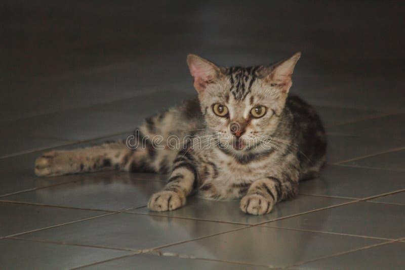 Gatinhos pequenos, cinza, encontrando-se na vista do assoalho fotos de stock royalty free
