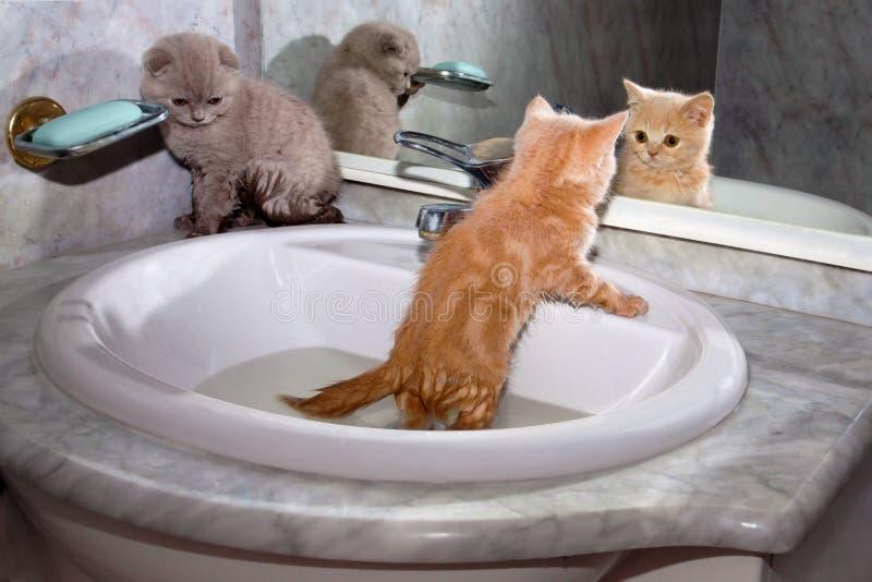 Gatinhos pequenos que banham-se no dissipador fotografia de stock royalty free