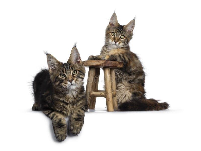 Gatinhos pretos do gato malhado/Maine Coon do tortie no branco foto de stock royalty free