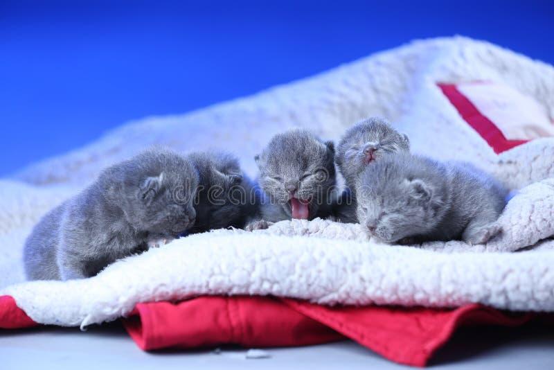Gatinhos rec?m-nascidos, poucos dias velhos, fundo azul fotografia de stock royalty free