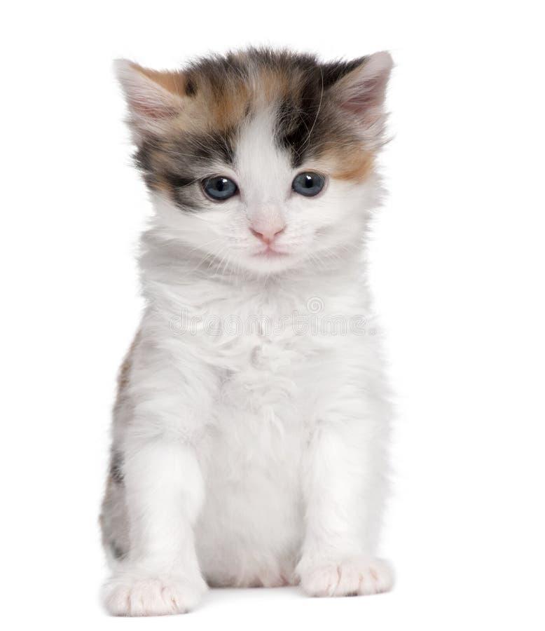 Gatito (1 mes de viejo) imagen de archivo