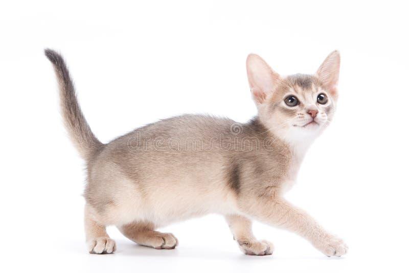 Gatito abisinio fotografía de archivo