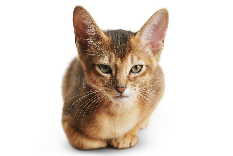 Gatito abisinio del color salvaje 3 meses que se sientan en el fondo blanco que mira a la cámara imagen de archivo