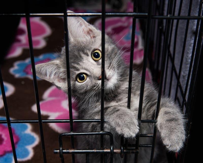 Gatito adorable de Gray Shelter en jaula imagenes de archivo