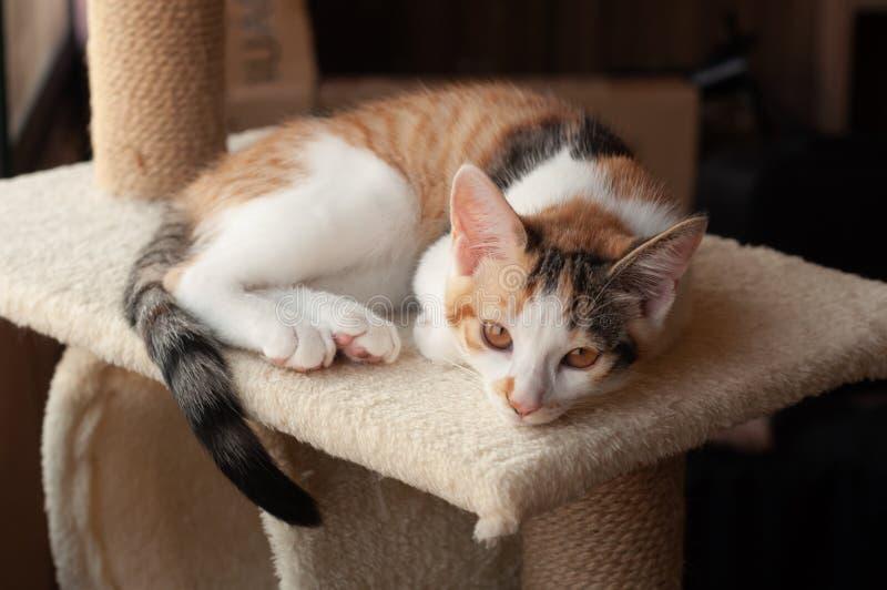 Gatito adorable del calicó imagenes de archivo