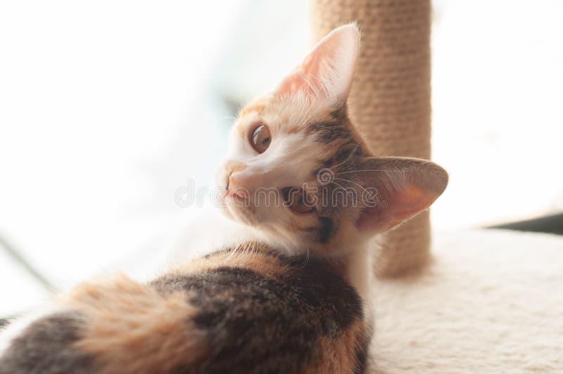 Gatito adorable del calicó imagen de archivo libre de regalías