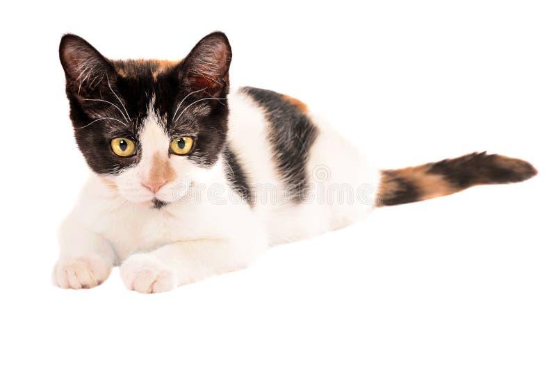 Gatito adorable del calicó que pone en el fondo blanco fotografía de archivo libre de regalías
