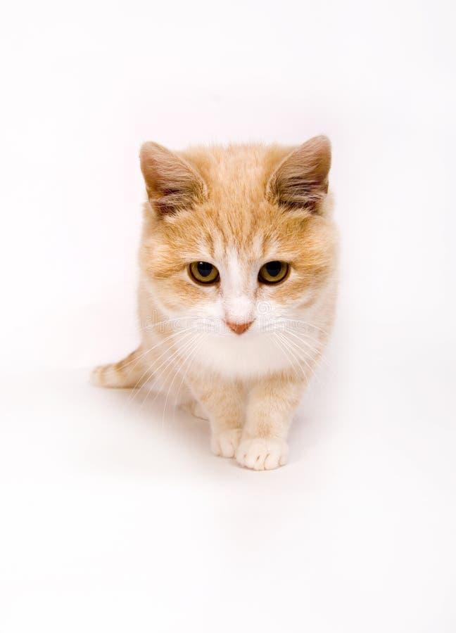Gatito amarillo en blanco   fotografía de archivo