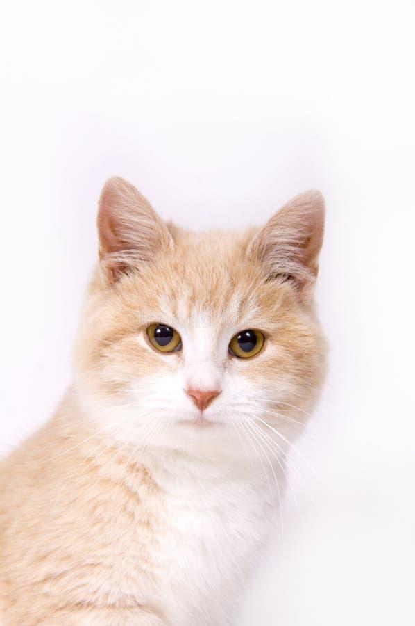 Gatito amarillo en el fondo blanco imágenes de archivo libres de regalías