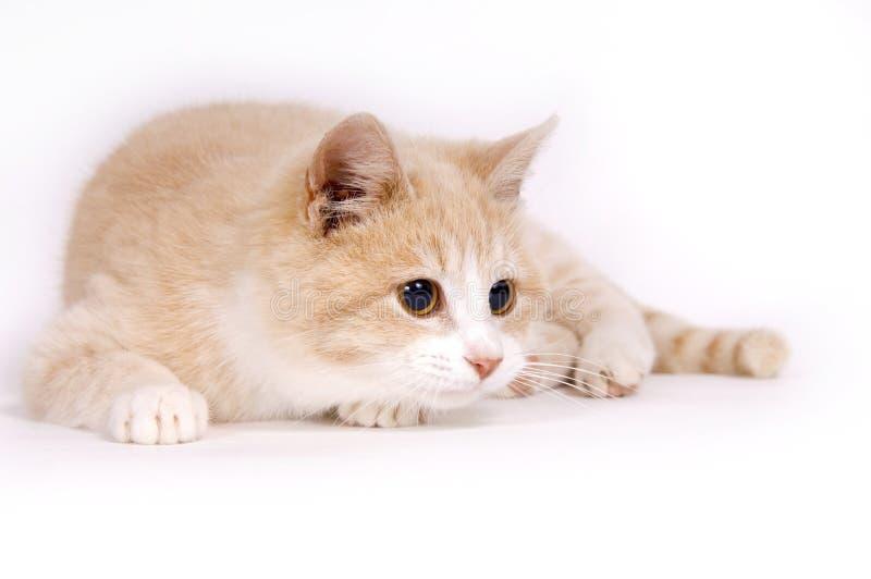 Gatito amarillo en el fondo blanco imagen de archivo