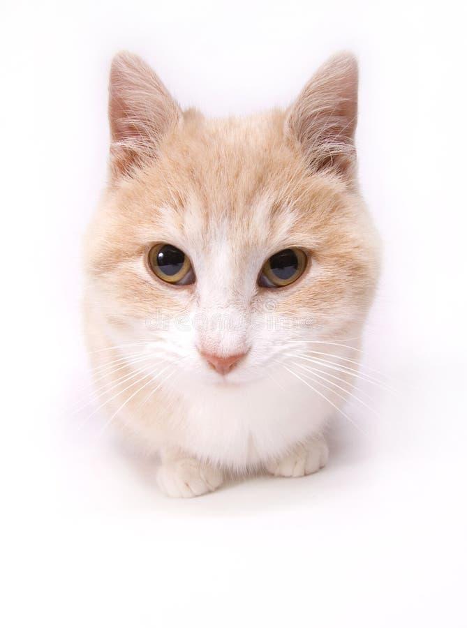Gatito amarillo en el fondo blanco fotos de archivo