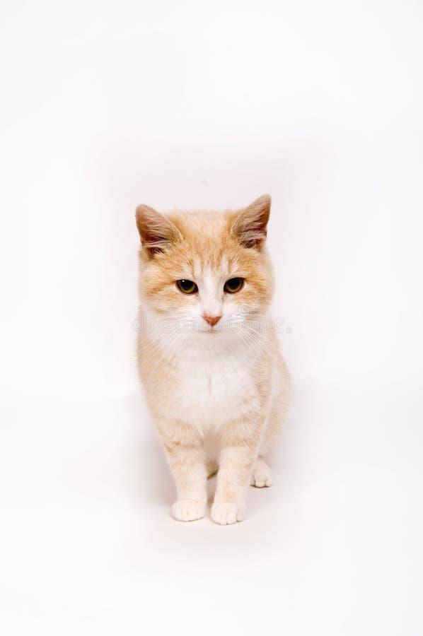 Gatito amarillo en el fondo blanco imagenes de archivo