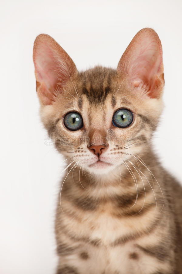 Gatito azul de Bengala imagen de archivo libre de regalías