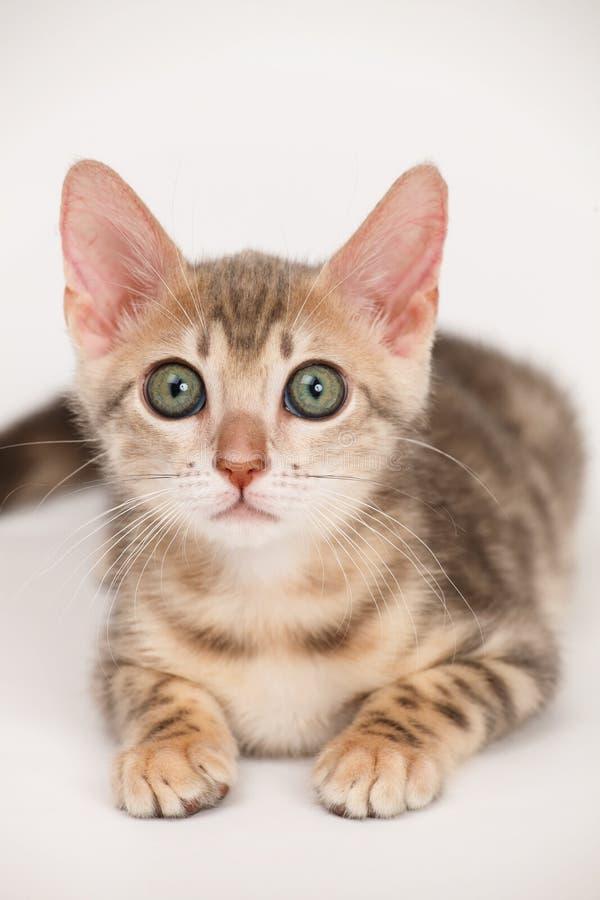 Gatito azul de Bengala fotos de archivo libres de regalías