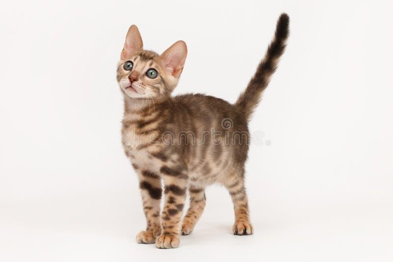 Gatito azul de Bengala foto de archivo