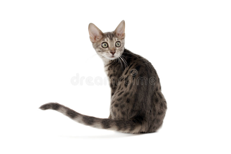 Gatito azul de Bengala imagenes de archivo