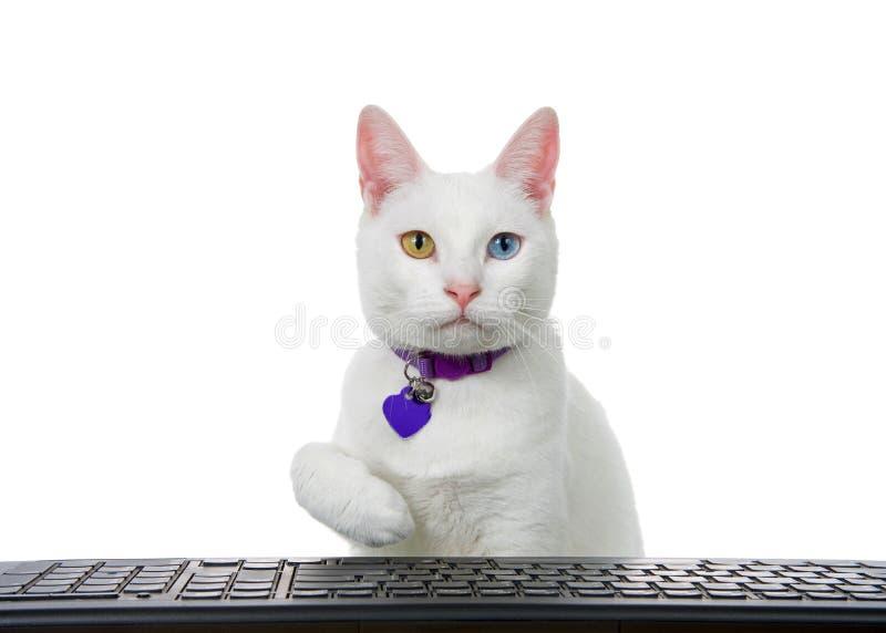Gatito blanco con el heterochromia, haber observado impar, alcanzando sobre un teclado de ordenador fotos de archivo