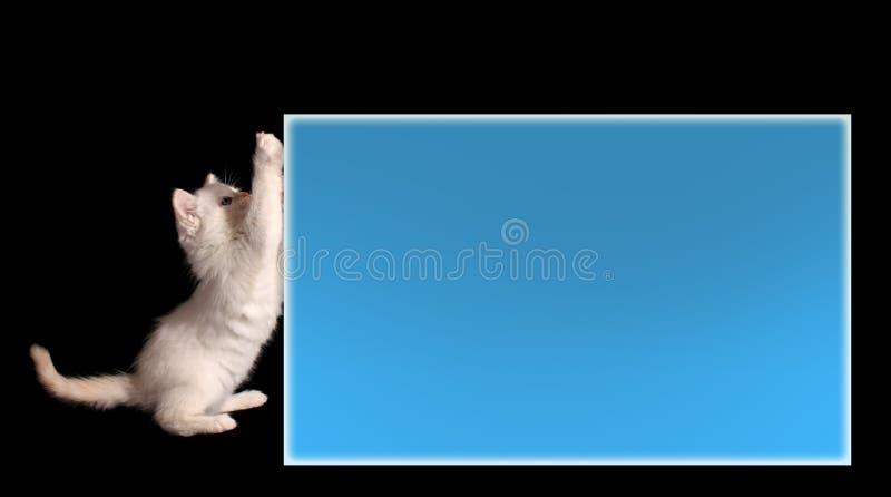 Gatito blanco joven fotos de archivo libres de regalías