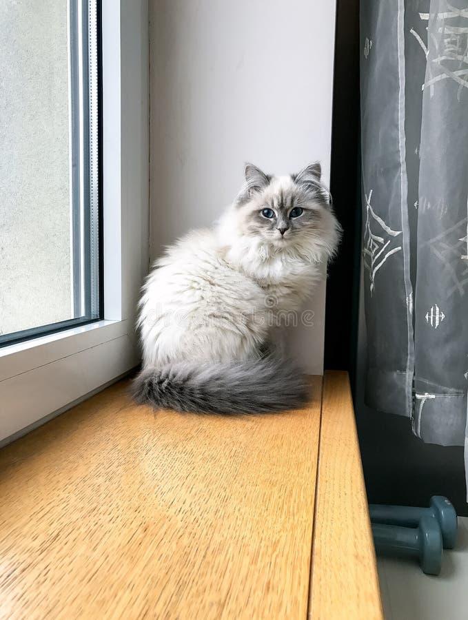 Gatito blanco lindo que se sienta cerca de la ventana en travesaño de la ventana dentro de una casa vertical fotografía de archivo libre de regalías